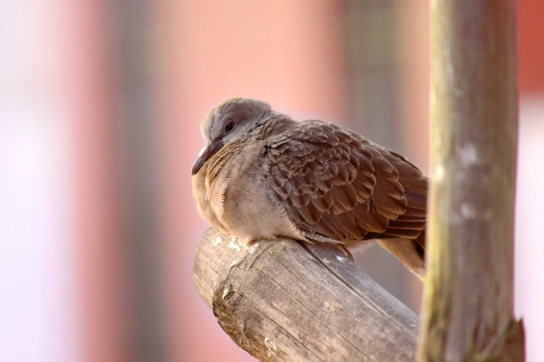 Baby spotted dove in front of peach sunrise